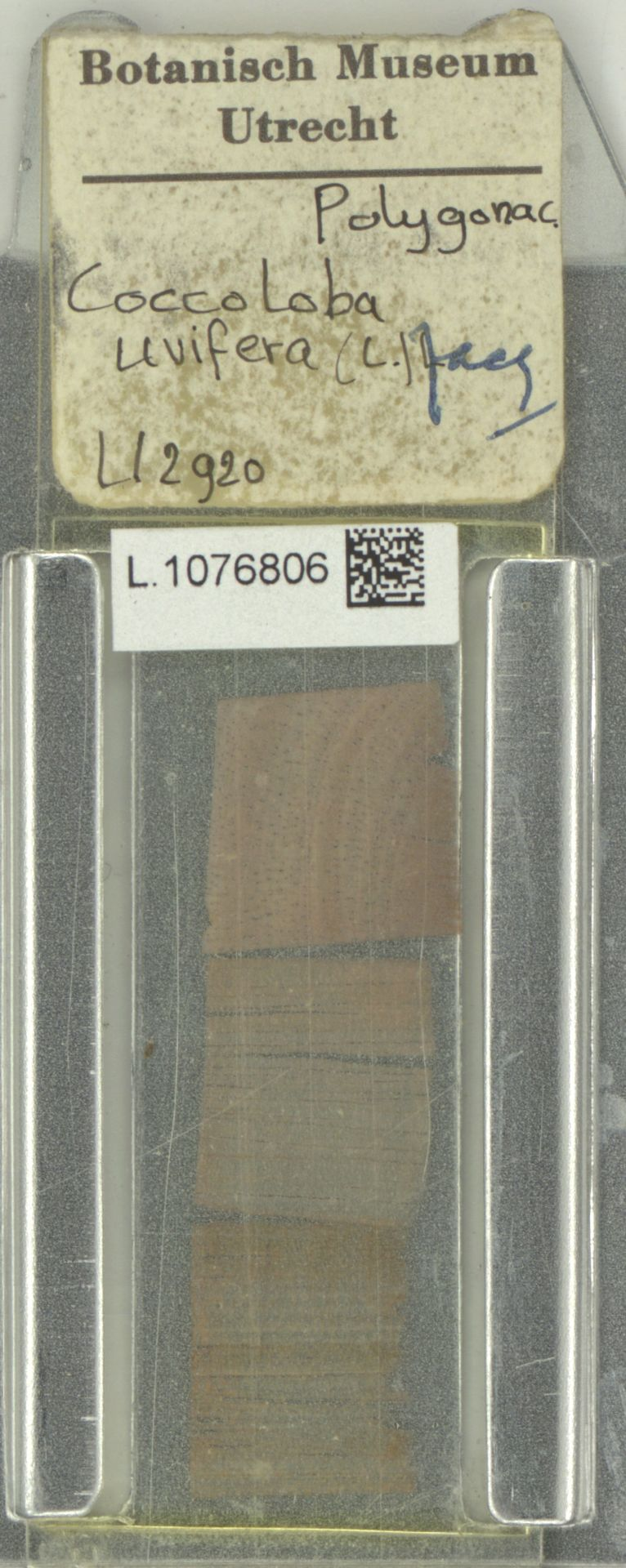 L.1076806 | Coccoloba uvifera (L.) L.