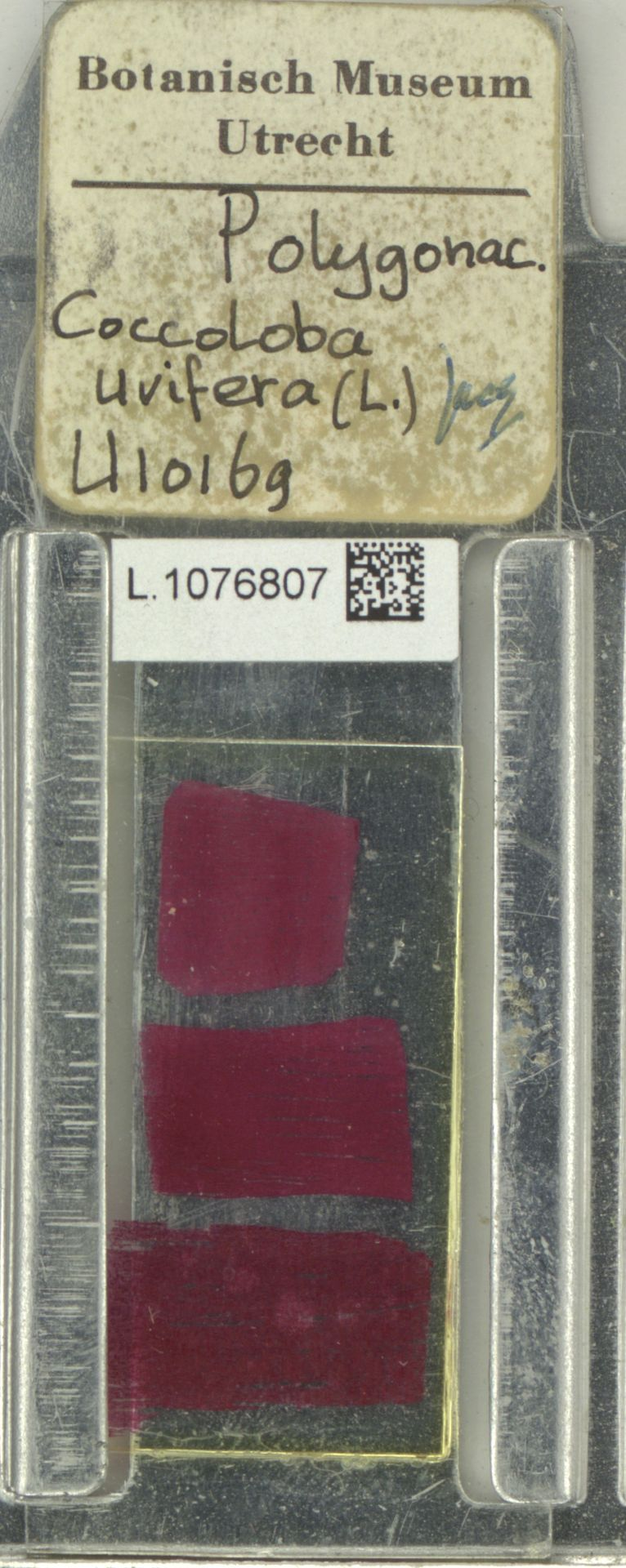 L.1076807 | Coccoloba uvifera (L.) L.
