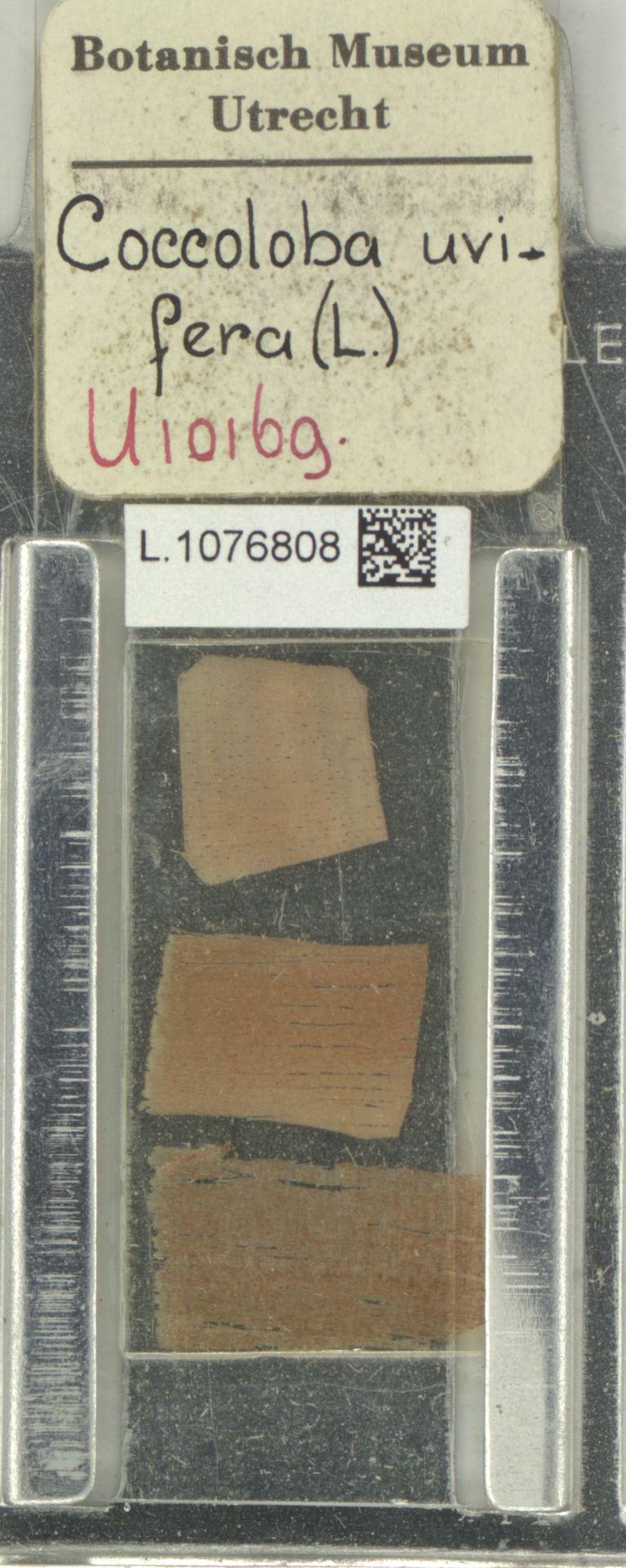 L.1076808 | Coccoloba uvifera (L.) L.