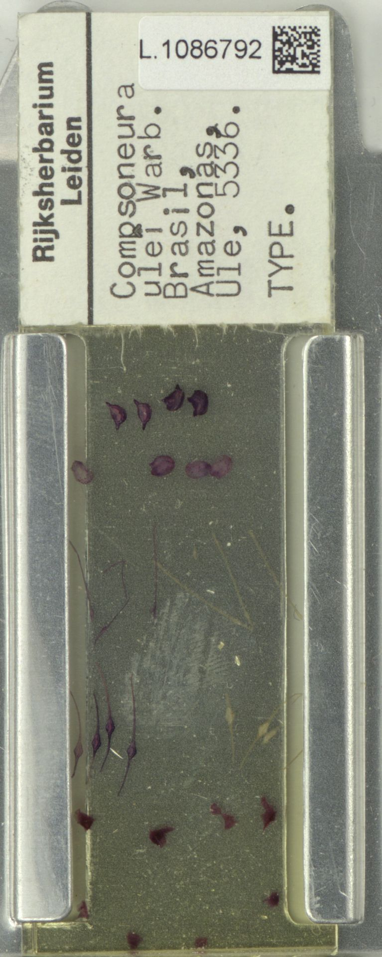 L.1086792 | Compsoneura ulei Warb.