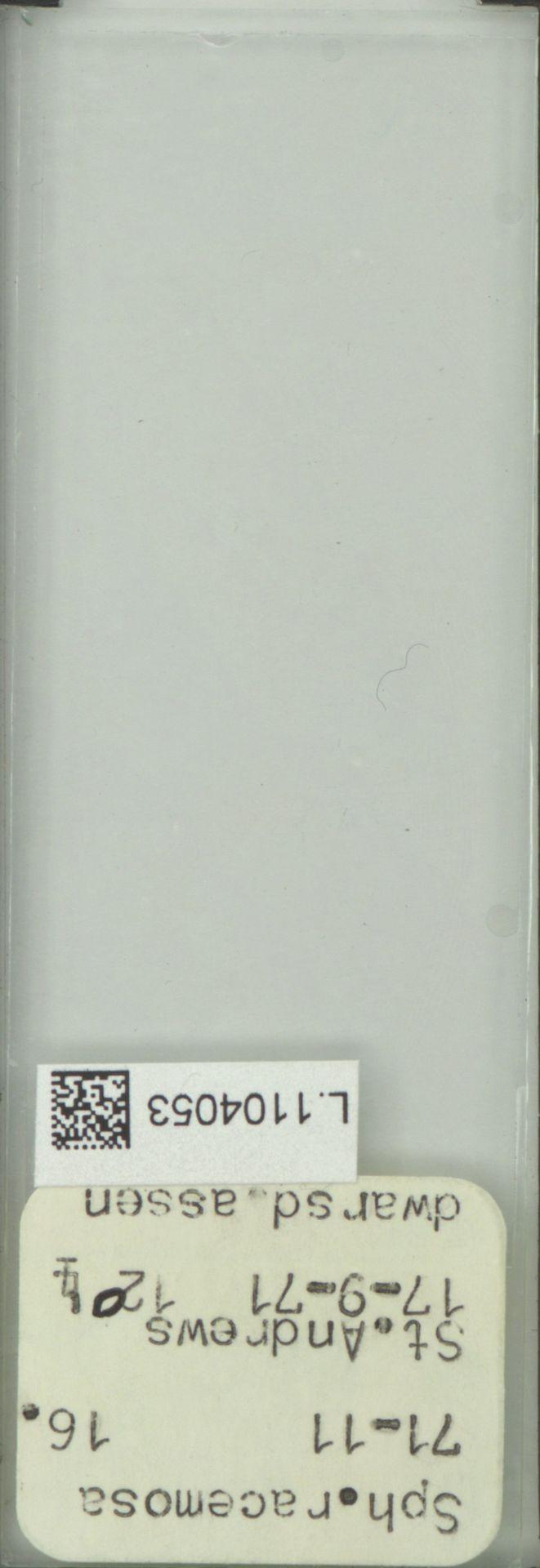 L.1104053 | Sphacelaria racemosa Grev.