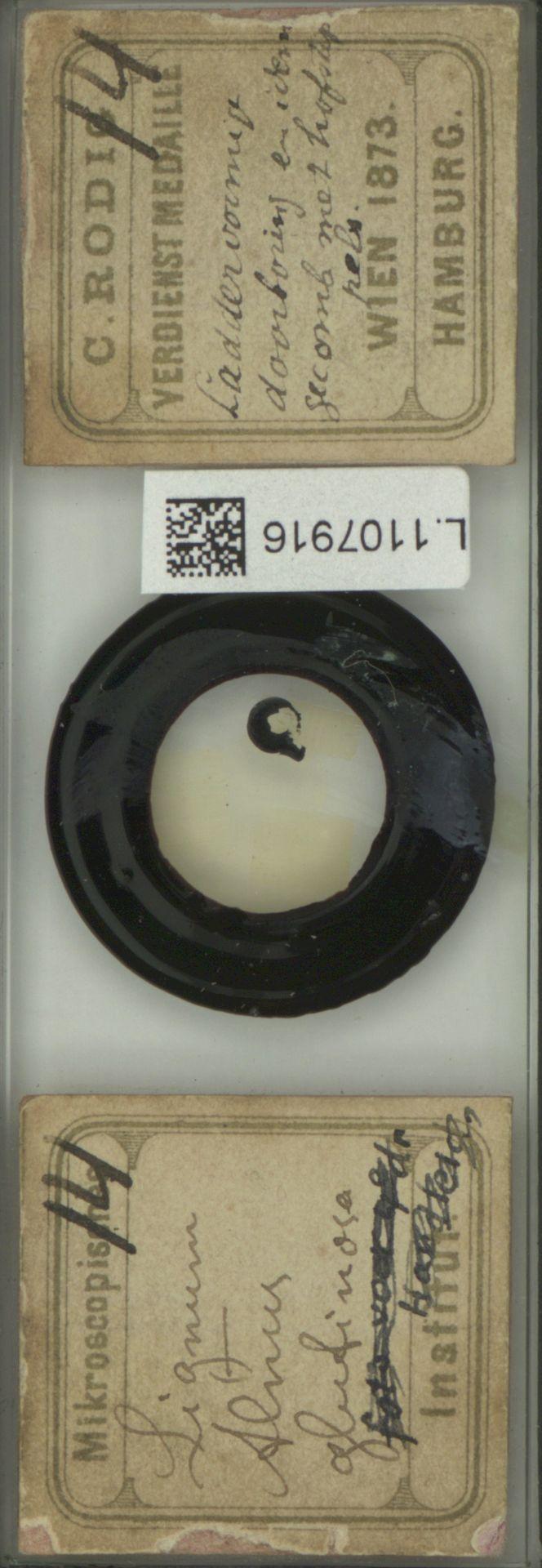 L.1107916 | Alnus glutinosa (L.) Gaertn.