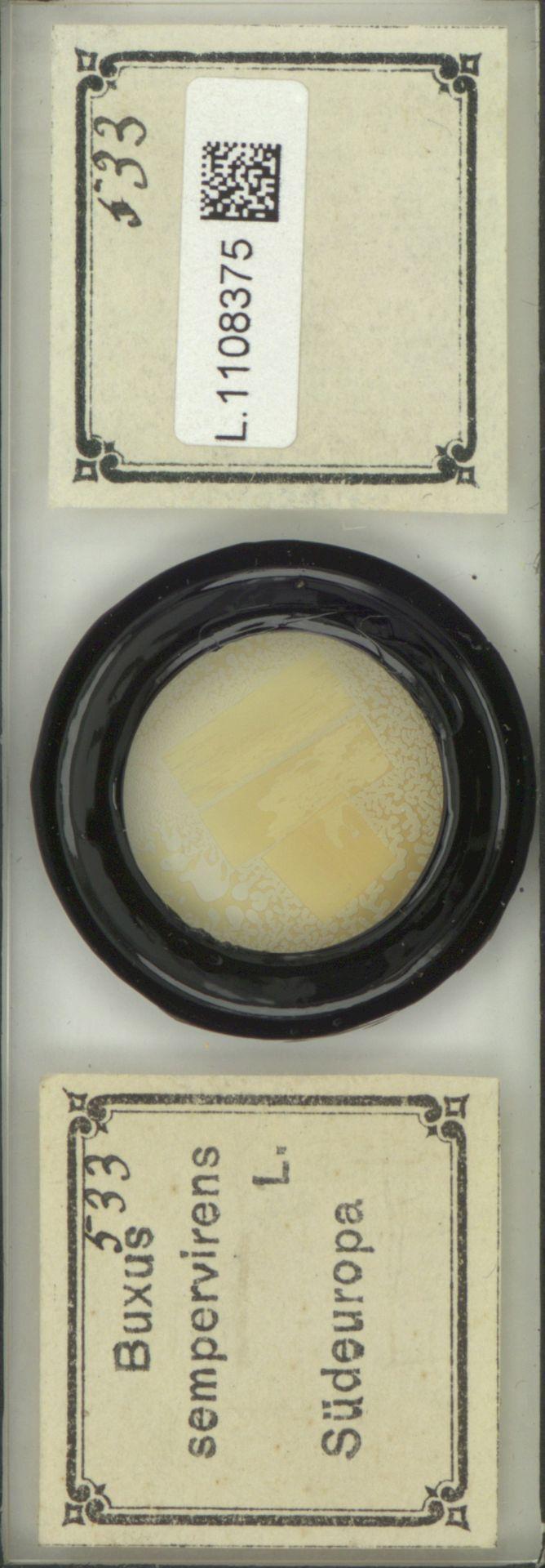 L.1108375 | Buxus sempervirens L.