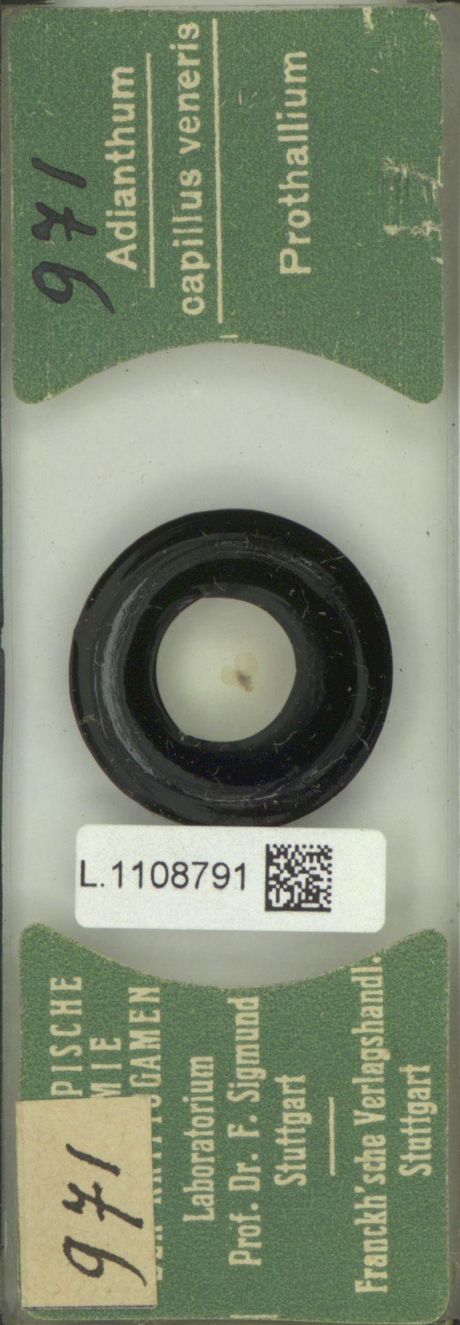 L.1108791   Adiantum capillus-veneris L.