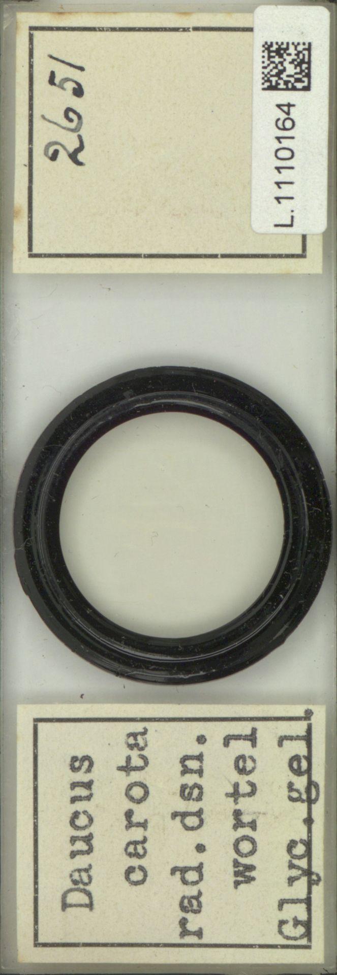 L.1110164 | Daucus carota L.