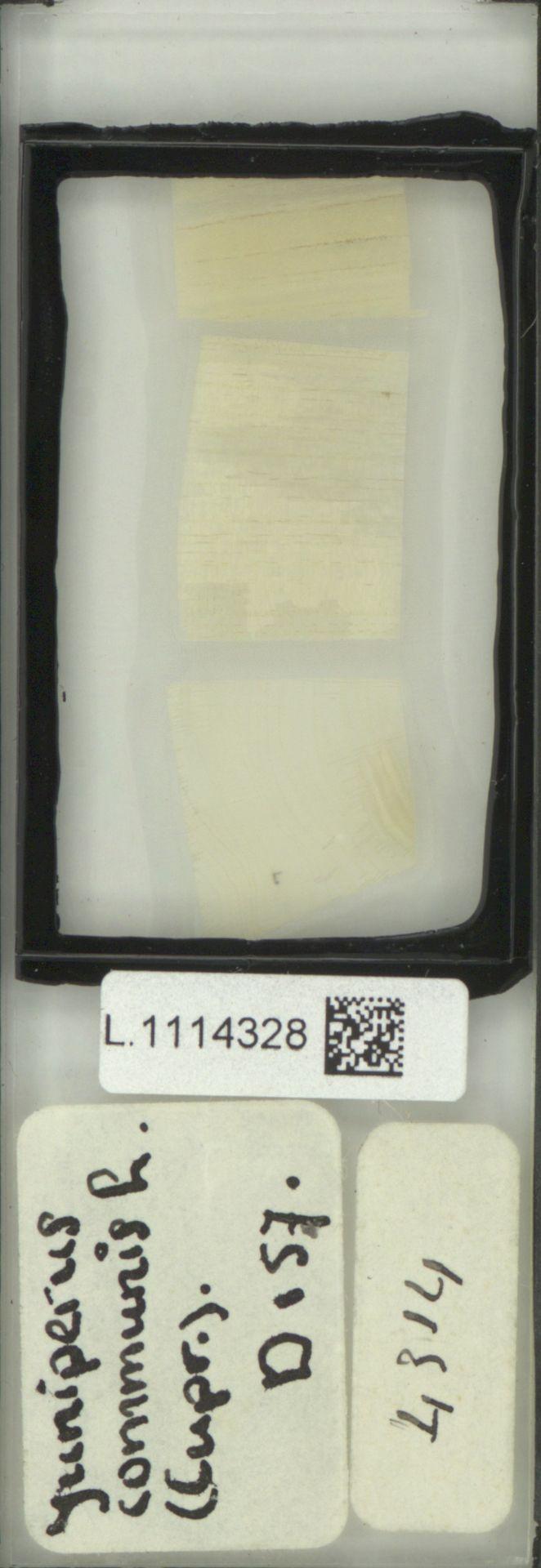 L.1114328 | Juniperus communis L.