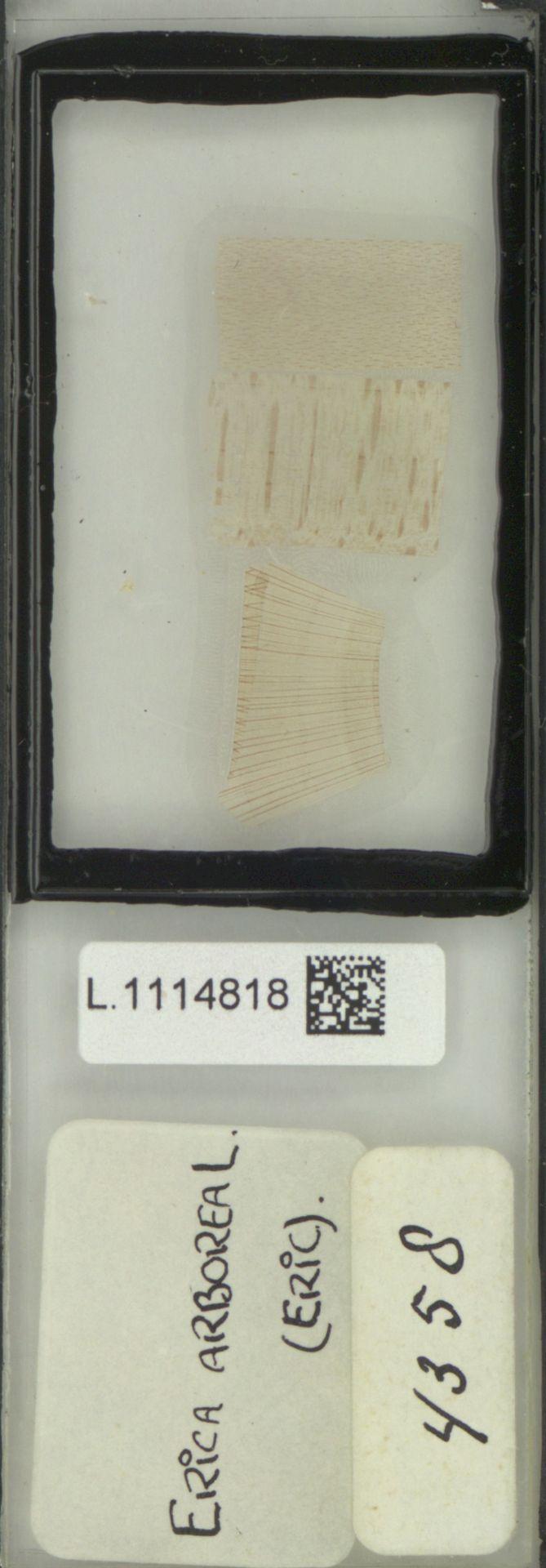 L.1114818 | Erica arborea L.