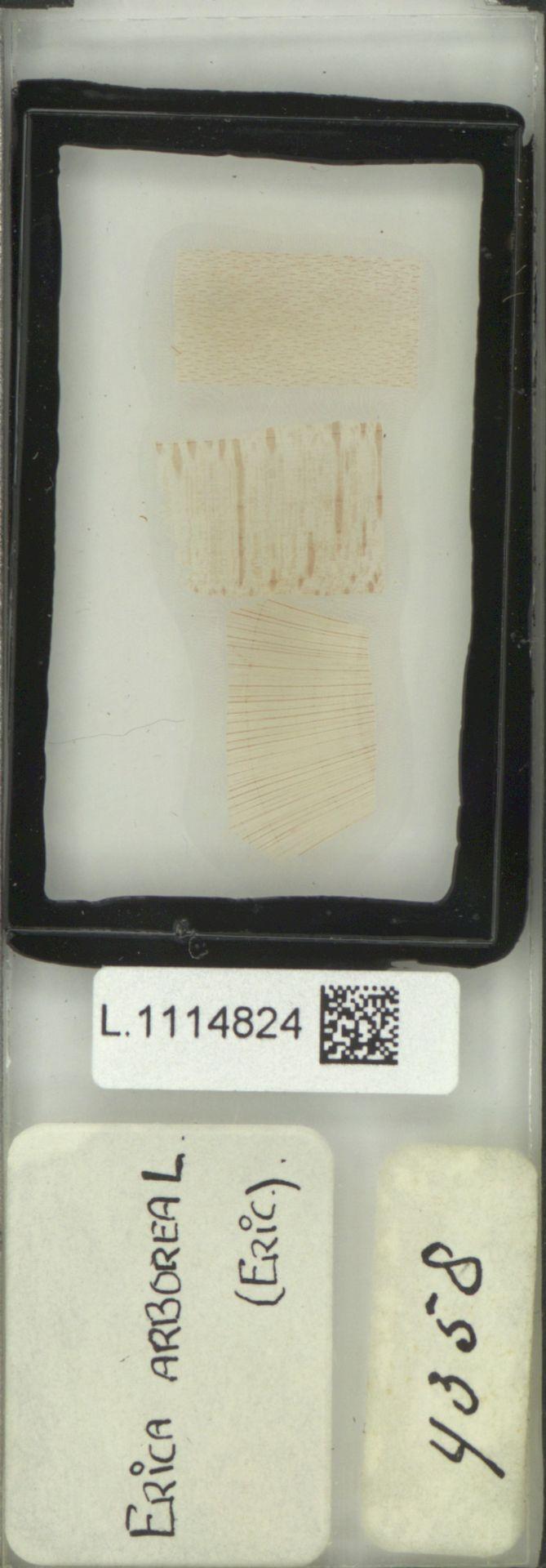 L.1114824 | Erica arborea L.
