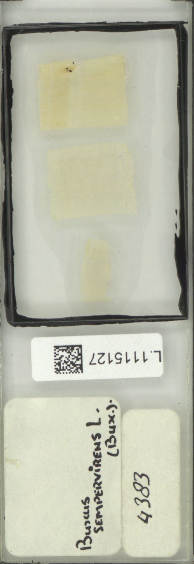 L.1115127 | Buxus sempervirens L.
