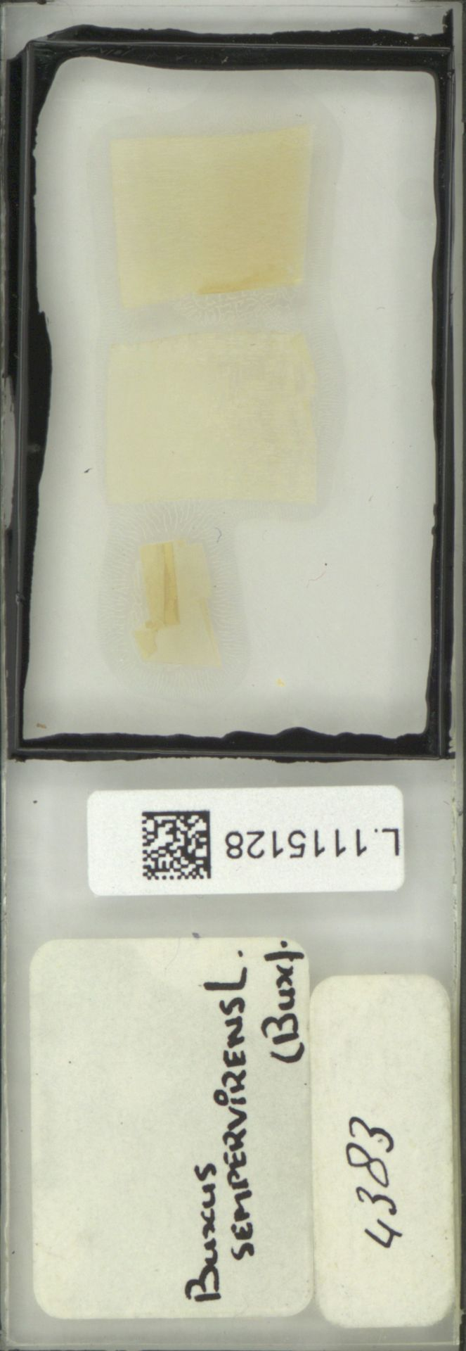 L.1115128   Buxus sempervirens L.