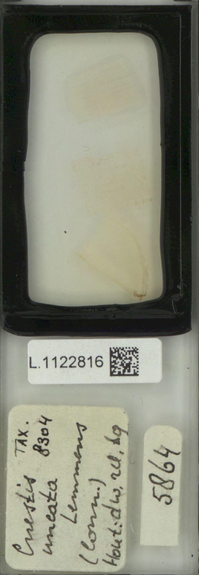 L.1122816 | Cnestis uncata Lemmens