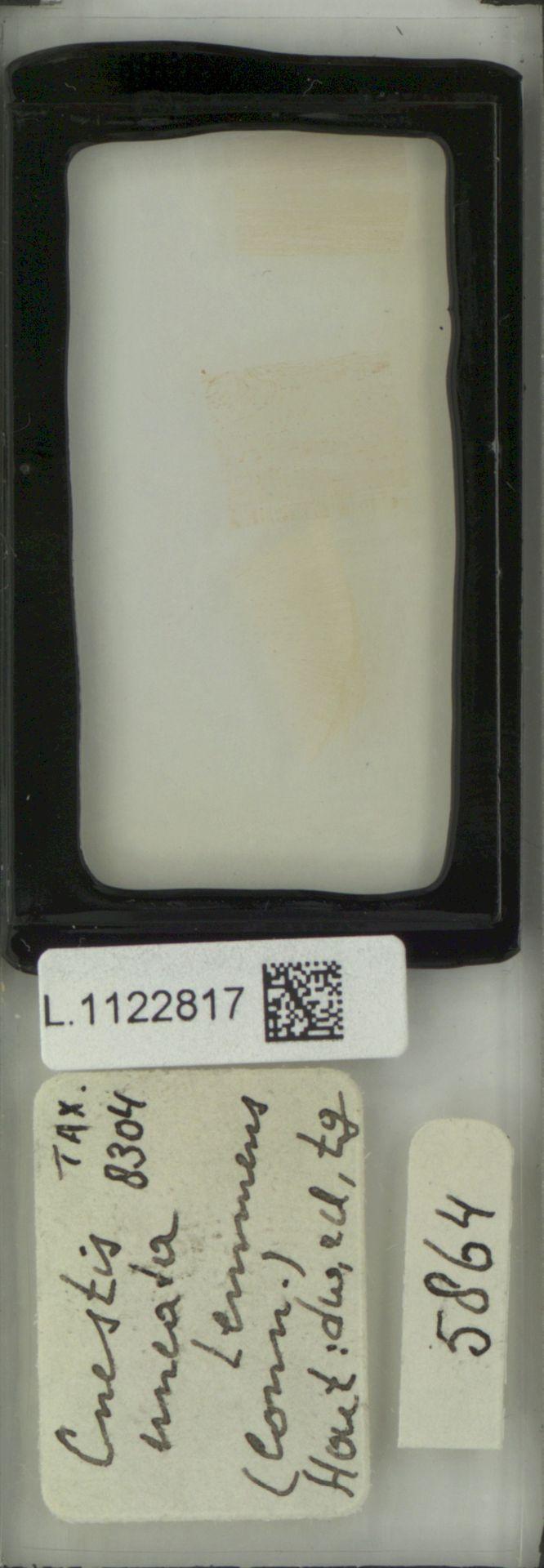 L.1122817 | Cnestis uncata Lemmens