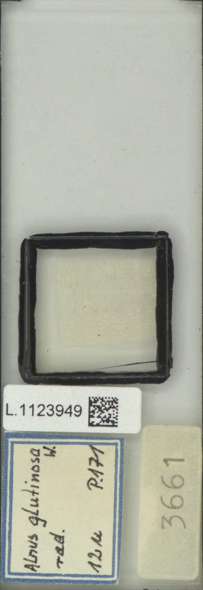 L.1123949 | Alnus glutinosa (L.) Gaertn.