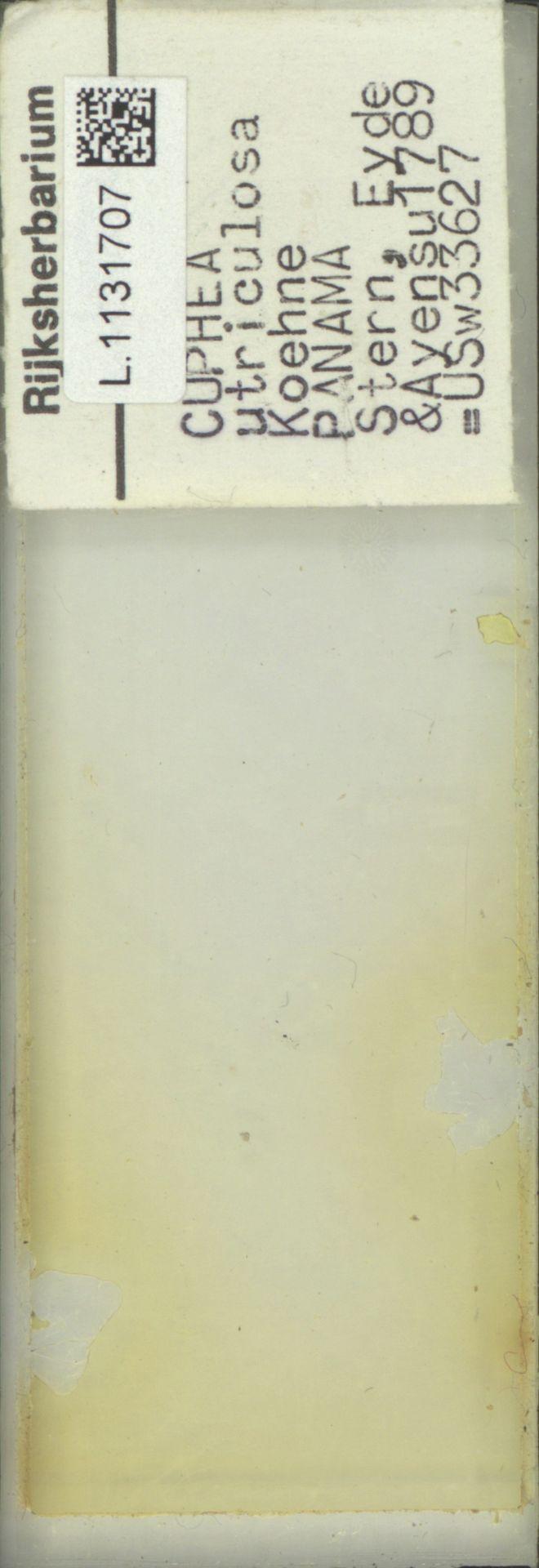 L.1131707 | Cuphea utriculosa Koehne