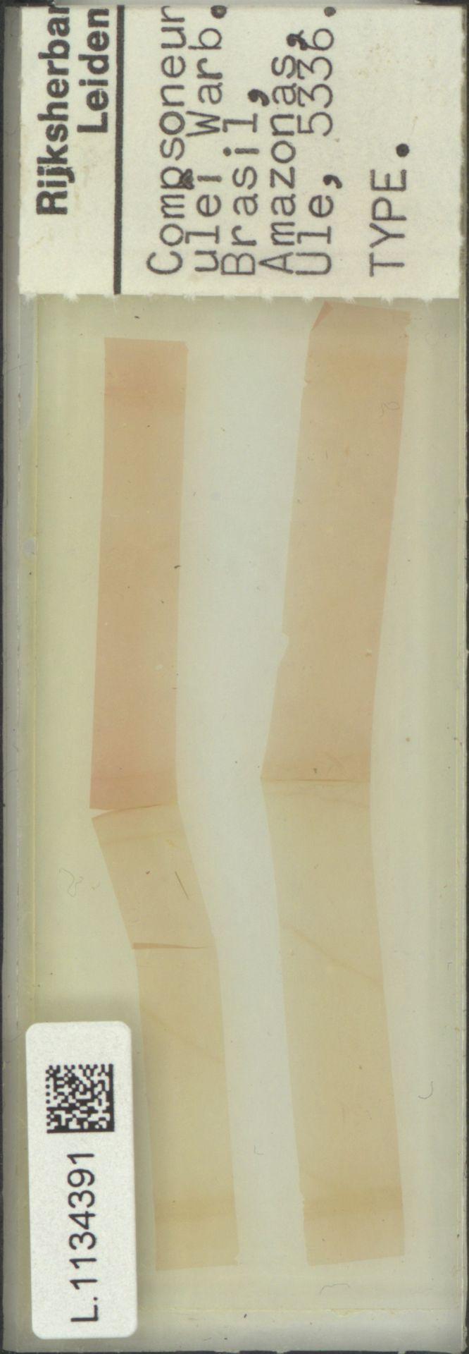 L.1134391 | Compsoneura ulei Warb.