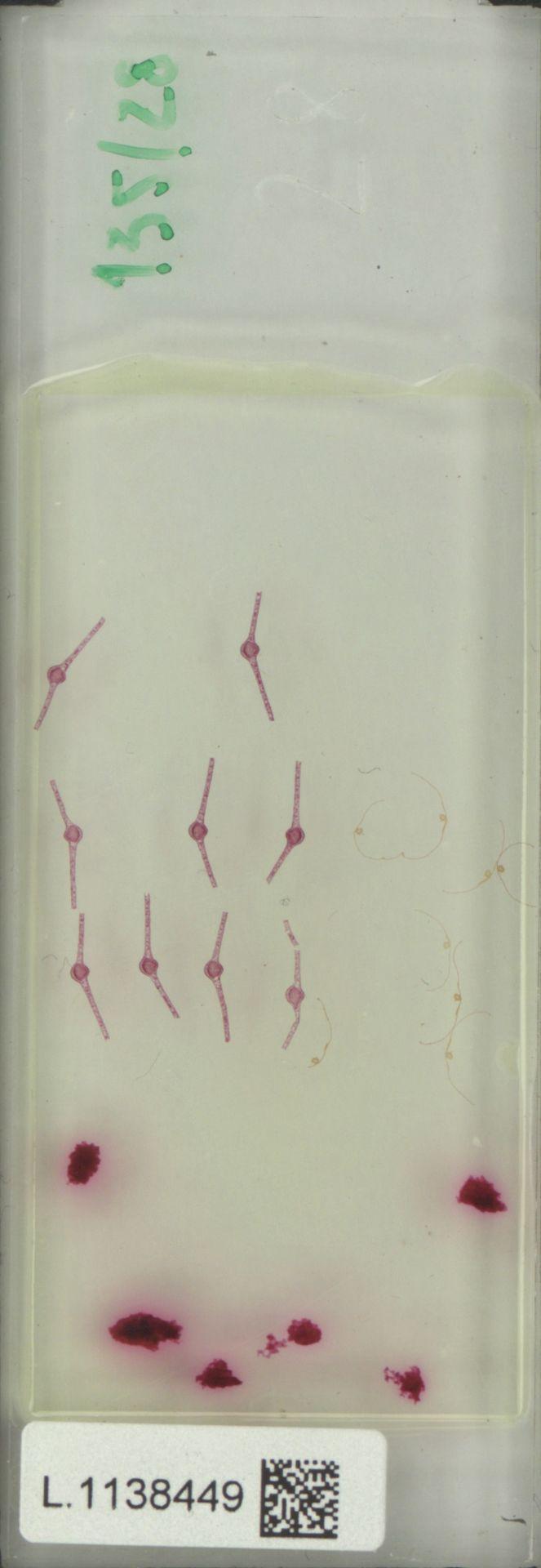 L.1138449 | Blumeodendron kurzii (Hook.f.) J.J.Sm.