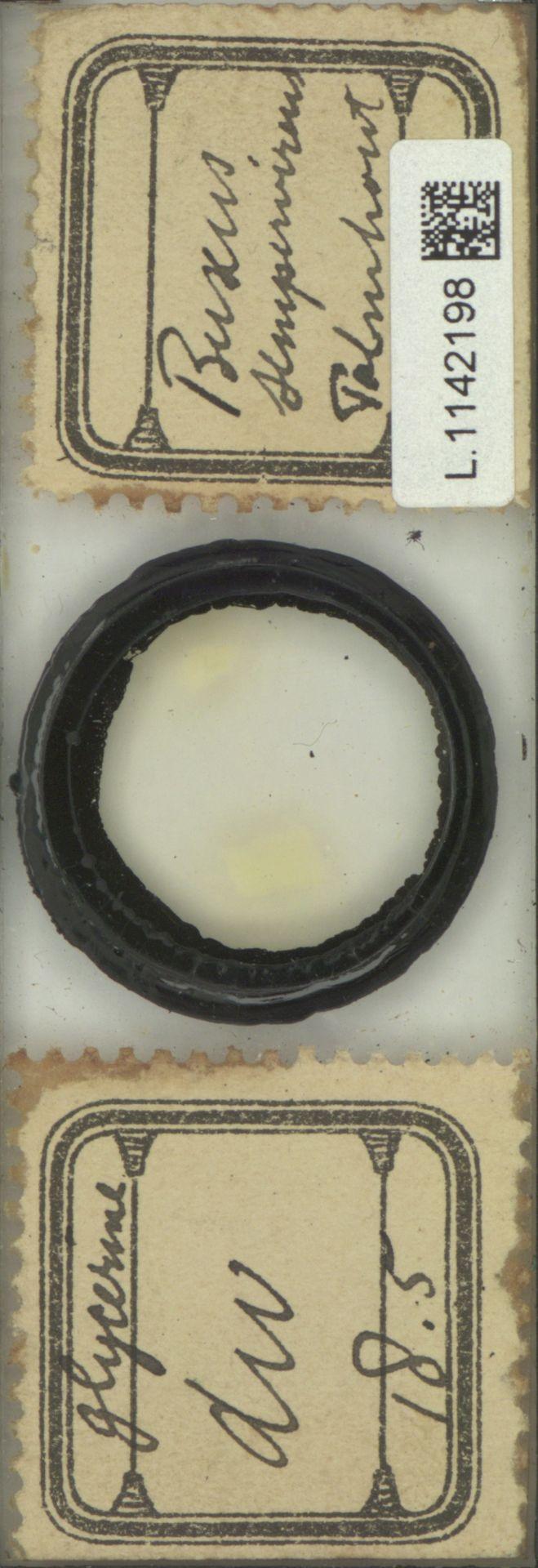 L.1142198 | Buxus sempervirens L.