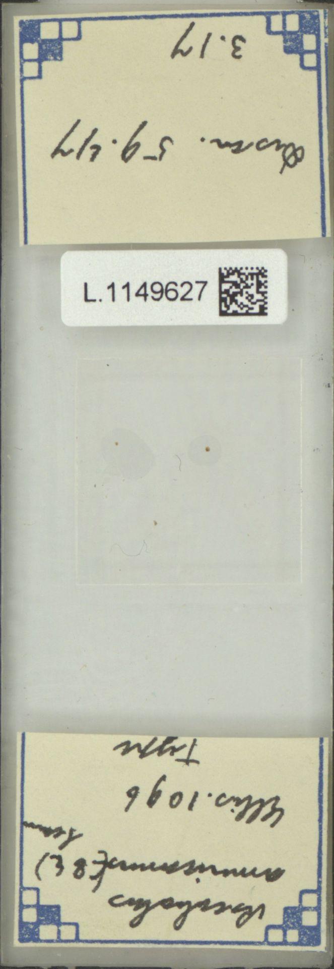 L.1149627   Ascobolus americanus (Cooke & Ellis) Seaver