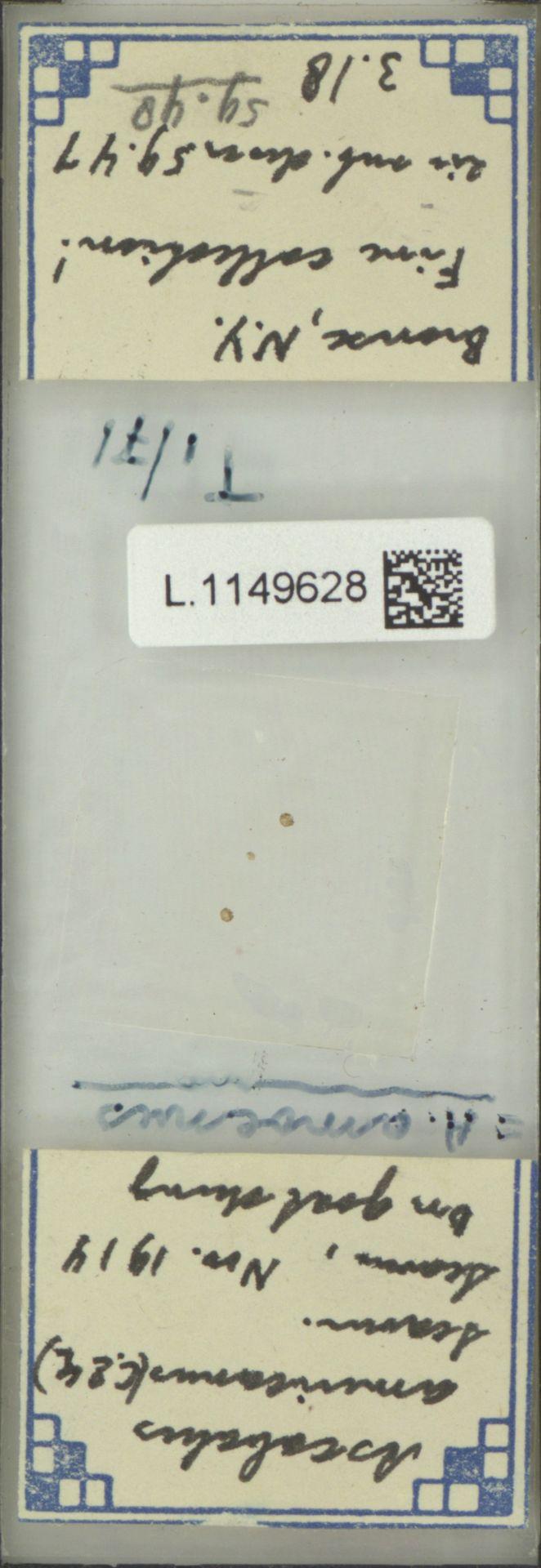 L.1149628 | Ascobolus americanus (Cooke & Ellis) Seaver