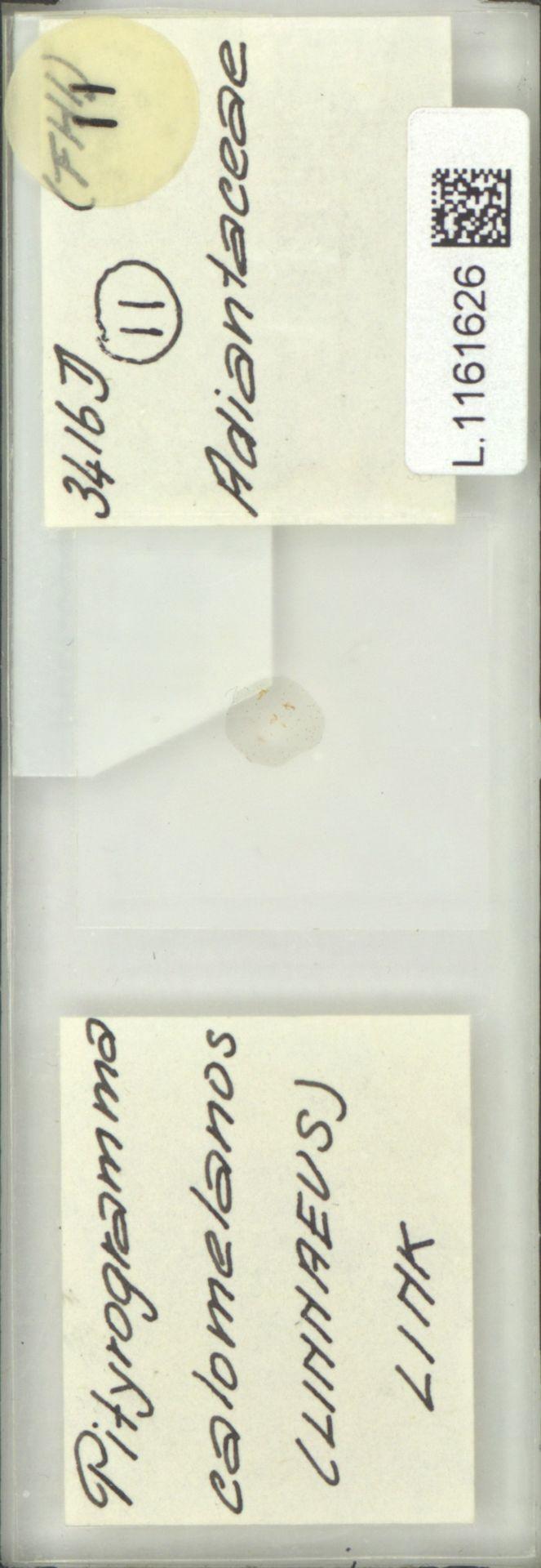 L.1161626 | Pityrogramma calomelanos (L.) Link