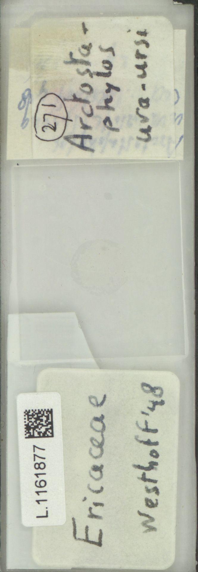 L.1161877 | Arctostaphylos uva-ursi (L.) Spreng.