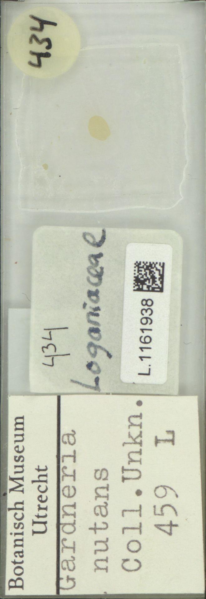 L.1161938 | Gardneria nutans Siebold & Zucc.