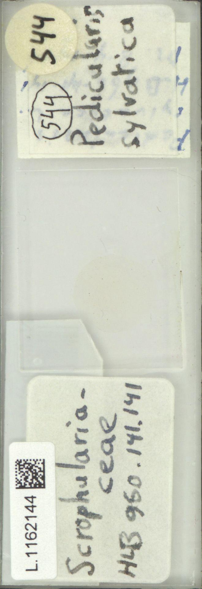 L.1162144 | Pedicularis sylvatica L.