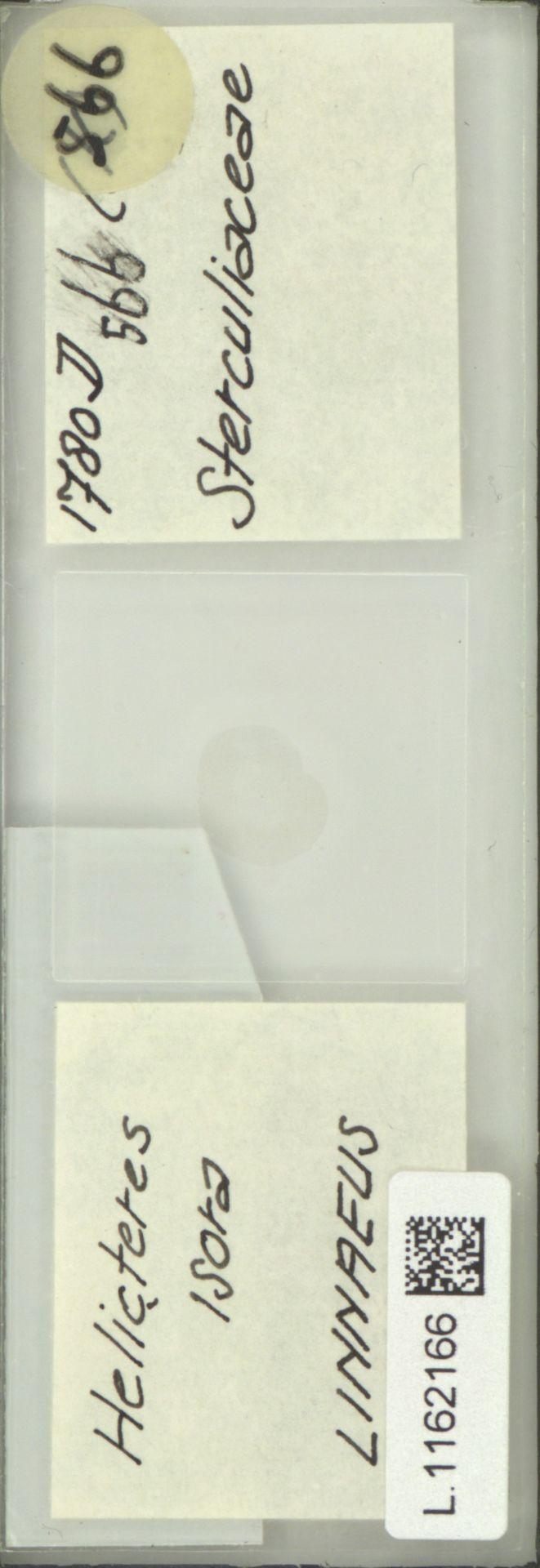 L.1162166 | Helicteres isora L.
