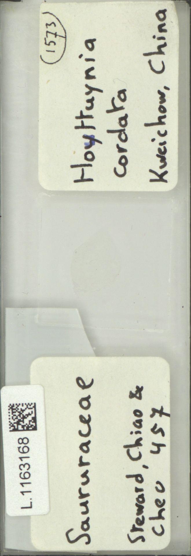 L.1163168   Houttuynia cordata Thunb.
