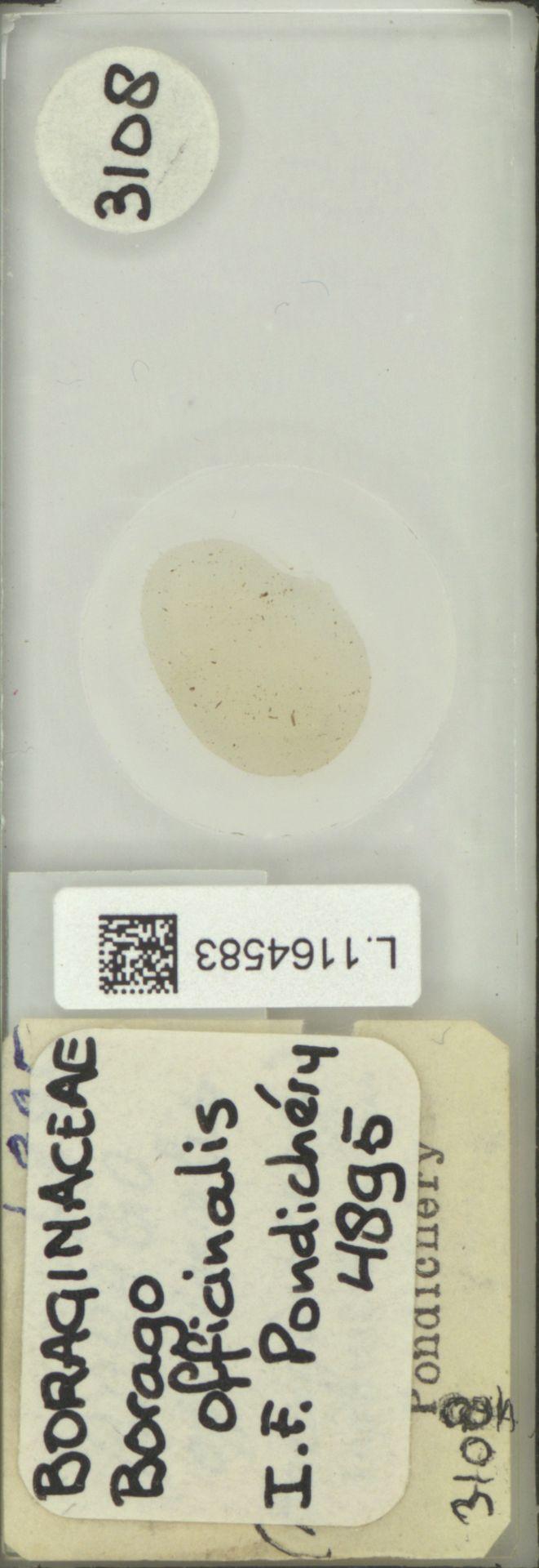 L.1164583 | Borago officinalis L.