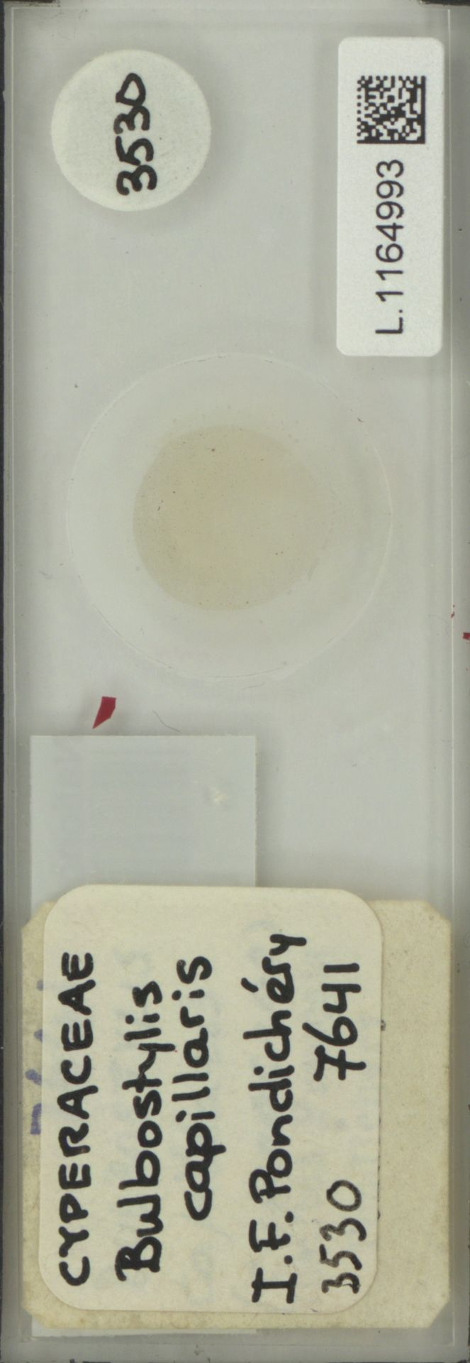 L.1164993 | Bulbostylis capillaris (L.) Kunth ex C.B.Clarke