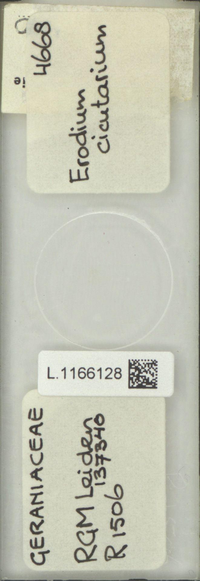 L.1166128 | Erodium cicutarium (L.) L'Hér.