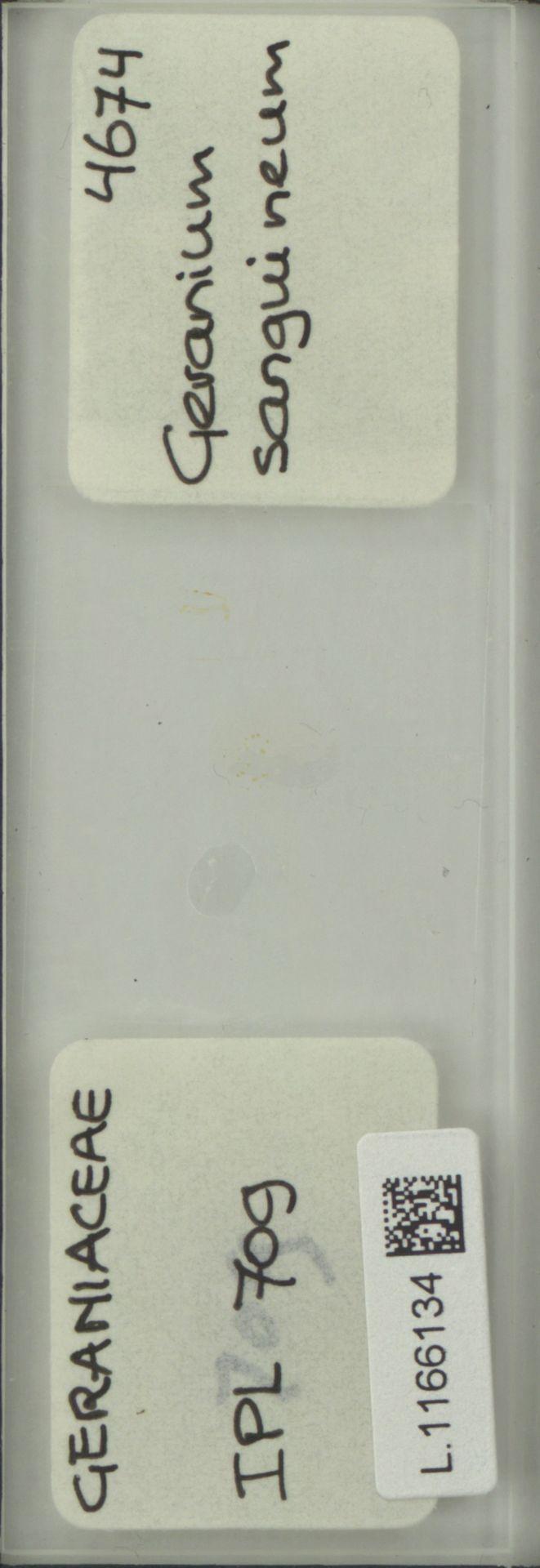 L.1166134 | Geranium sanguineum L.