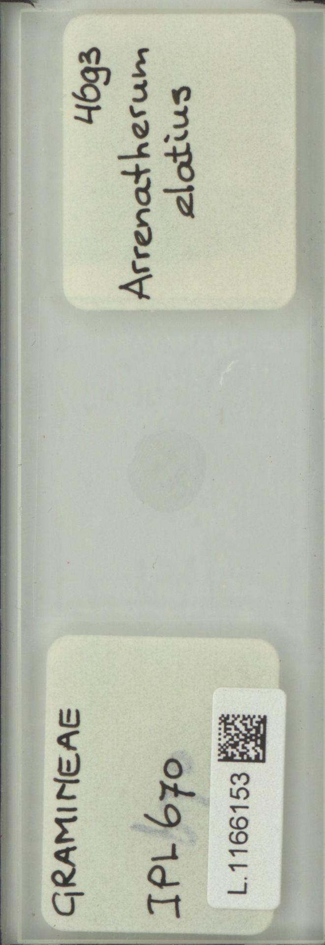 L.1166153 | Arrhenatherum elatius (L.) P.Beauv. ex J.Presl & C.Presl