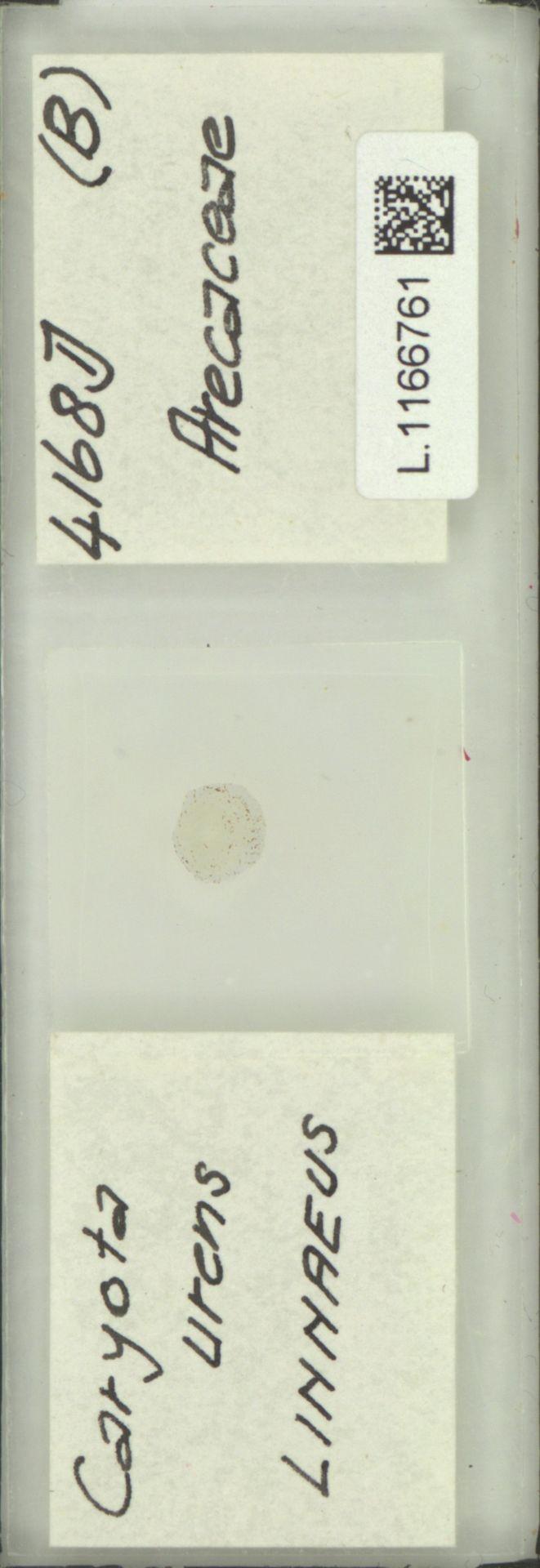 L.1166761 | Caryota urens L.