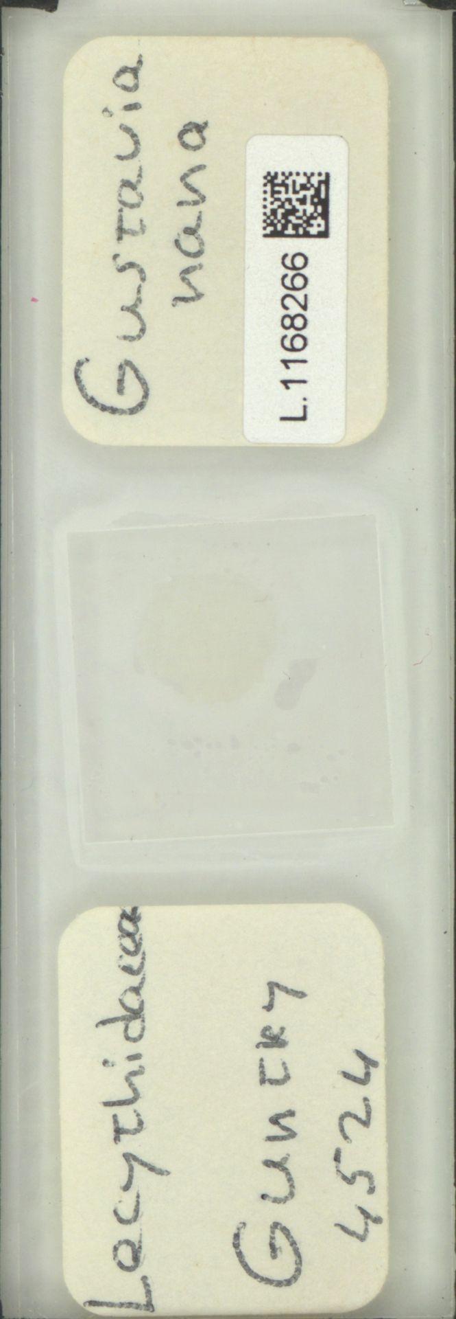 L.1168266 | Gustavia nana Pittier