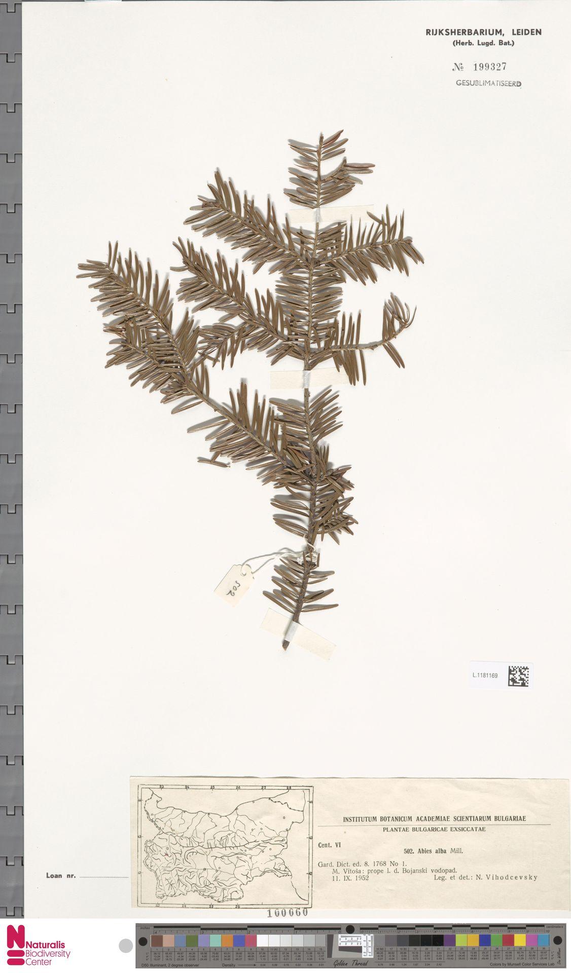 L.1181169 | Abies alba Mill.
