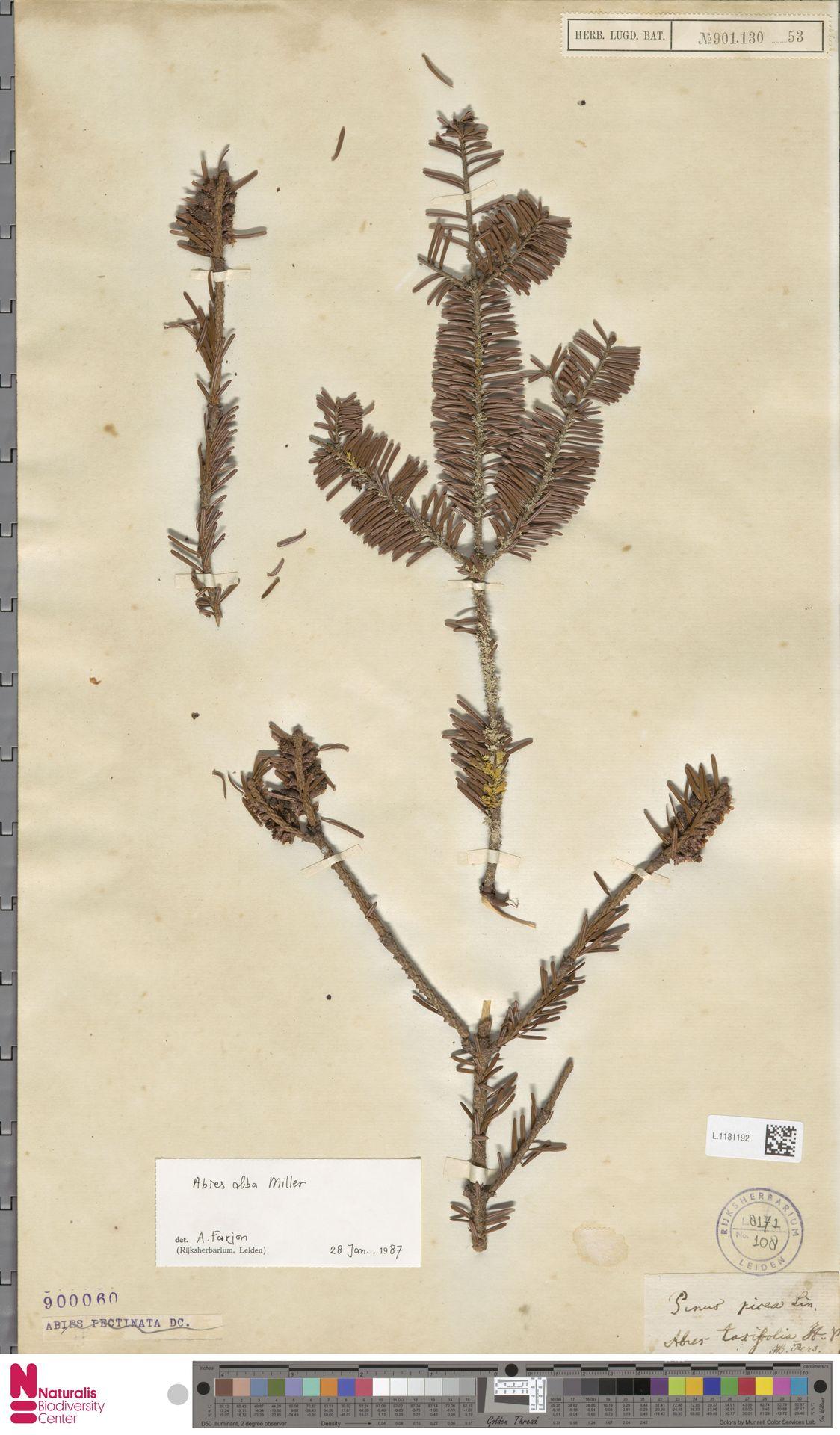 L.1181192 | Abies alba Mill.