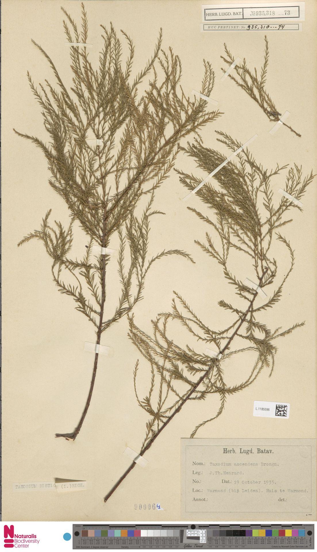 L.1185596 | Taxodium distichum (L.) Rich.