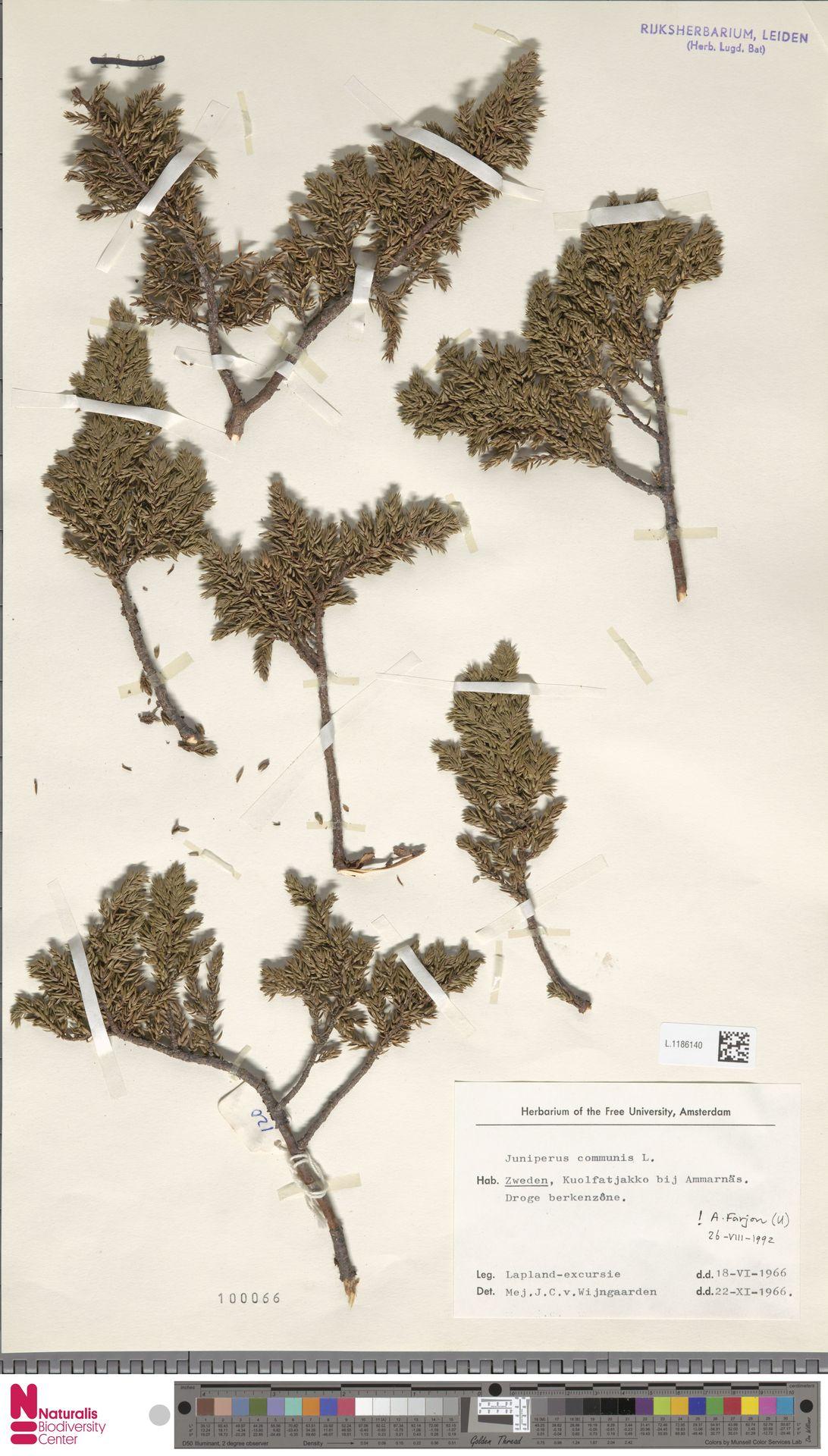 L.1186140 | Juniperus communis L.