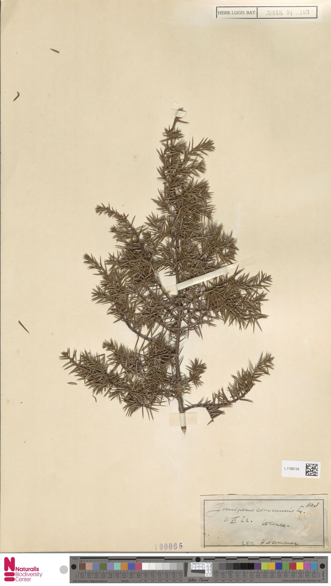 L.1186144 | Juniperus communis L.