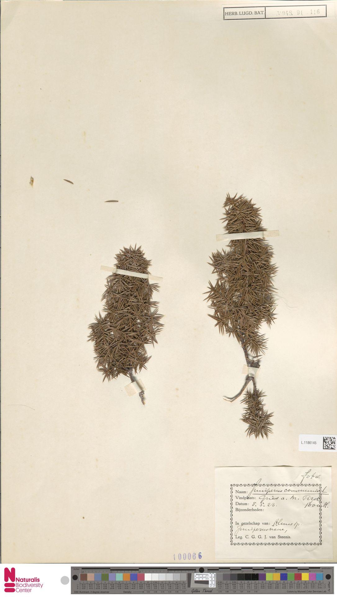 L.1186145 | Juniperus communis L.