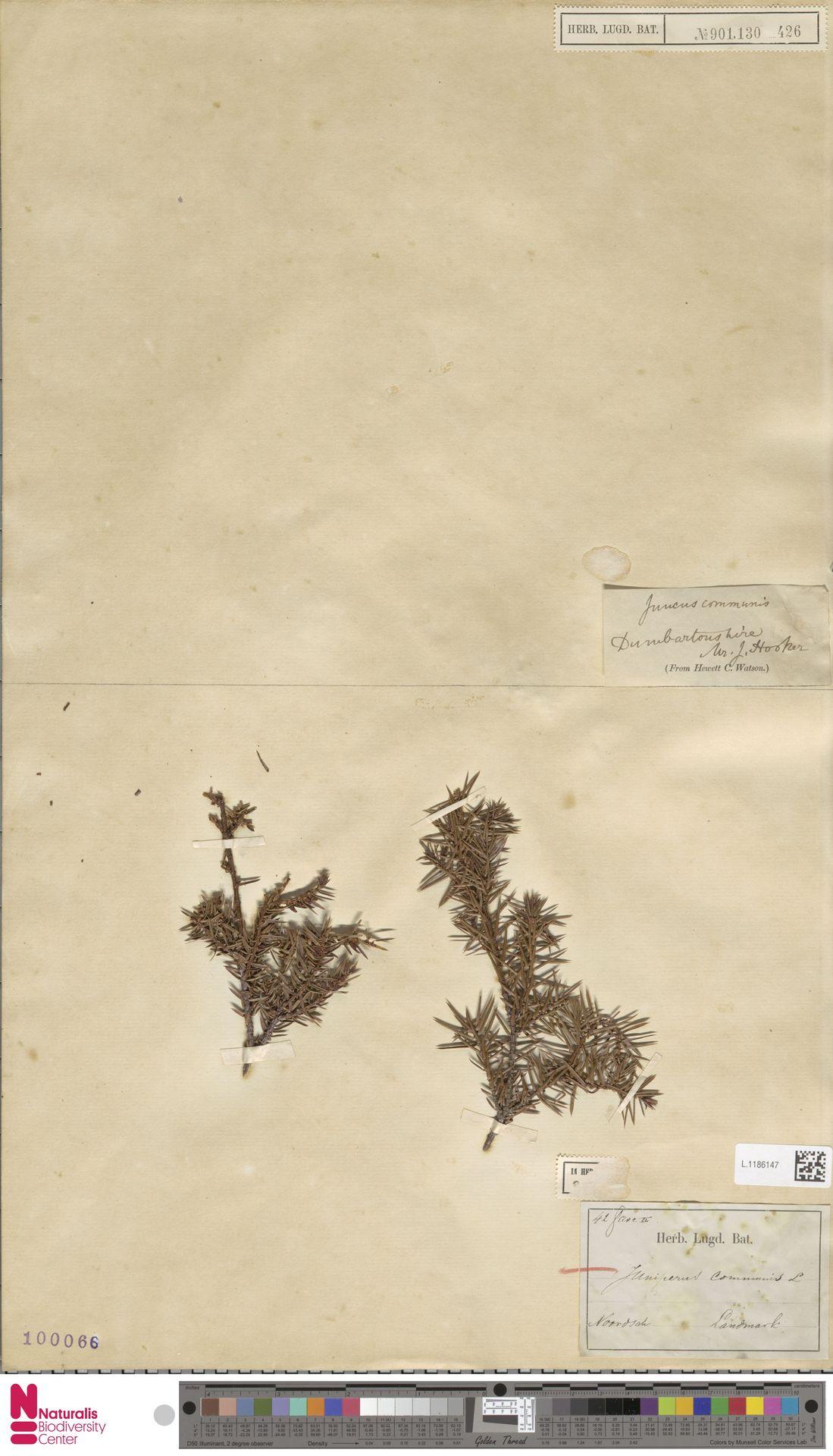 L.1186147 | Juniperus communis L.
