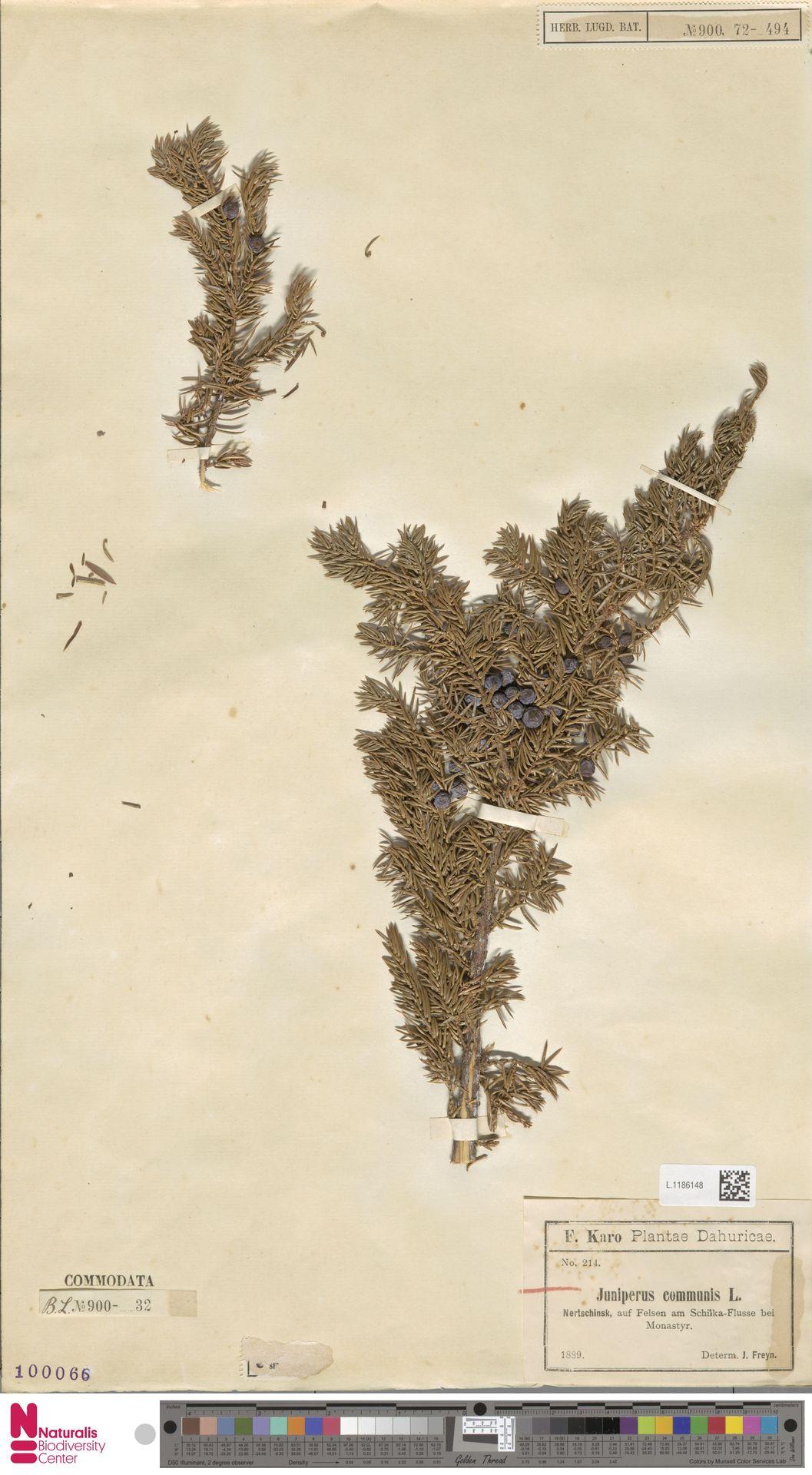 L.1186148 | Juniperus communis L.