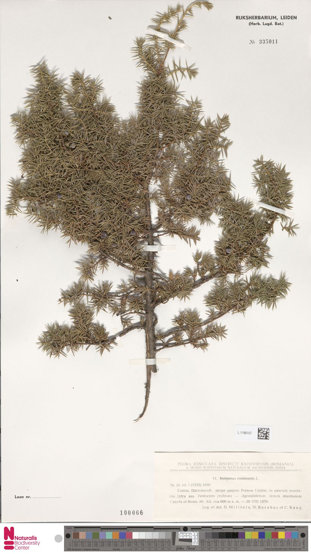 L.1186157 | Juniperus communis L.