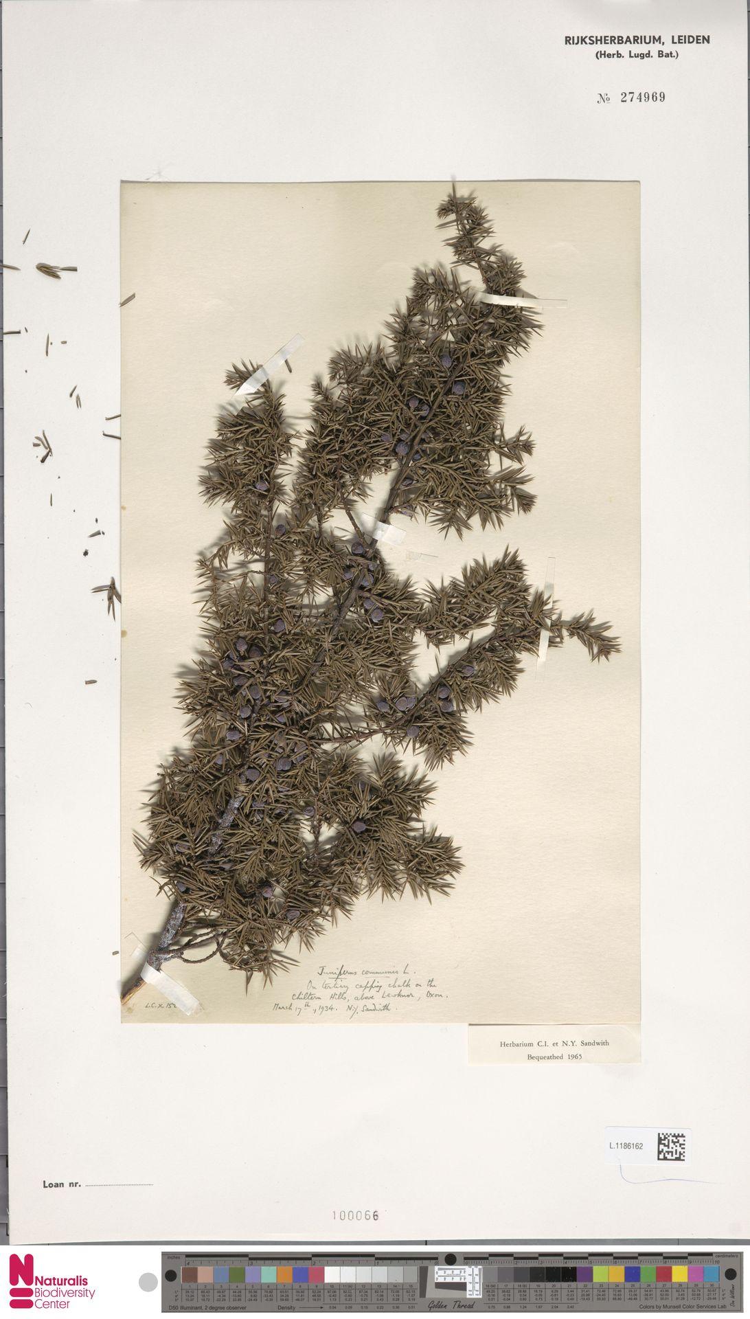 L.1186162 | Juniperus communis L.