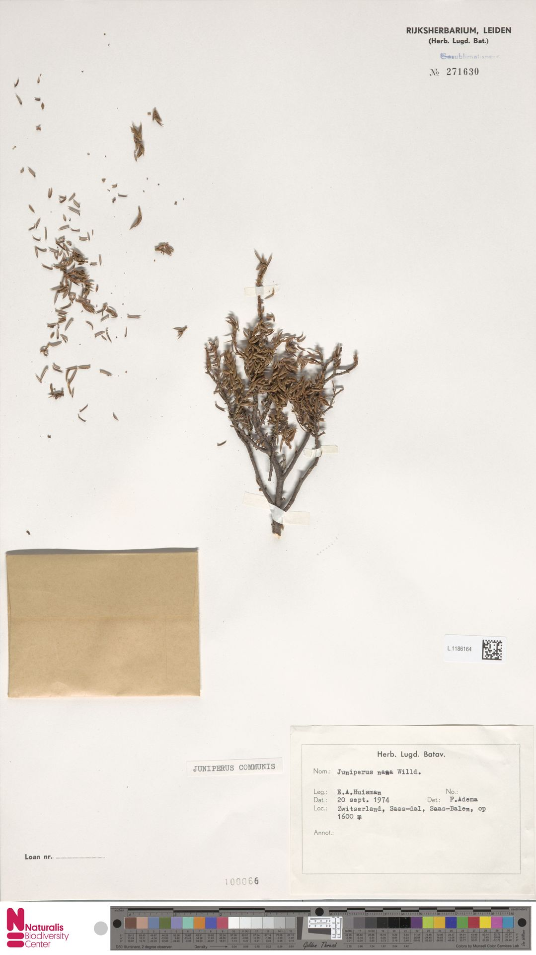 L.1186164 | Juniperus communis L.