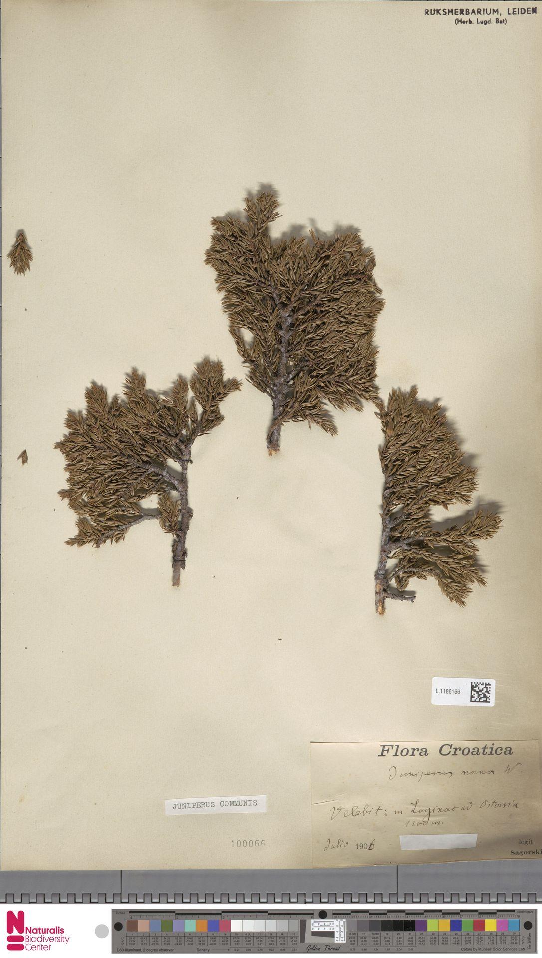 L.1186166 | Juniperus communis L.