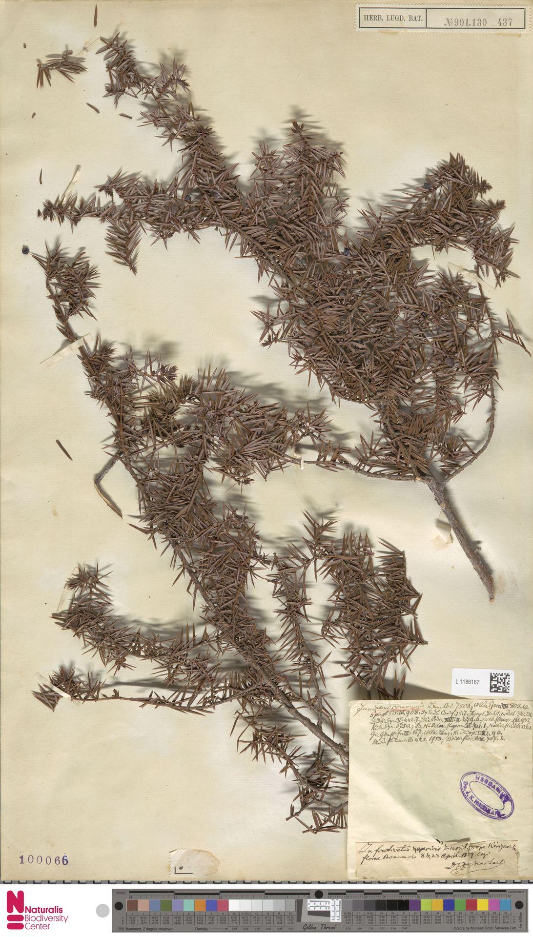 L.1186167 | Juniperus communis L.