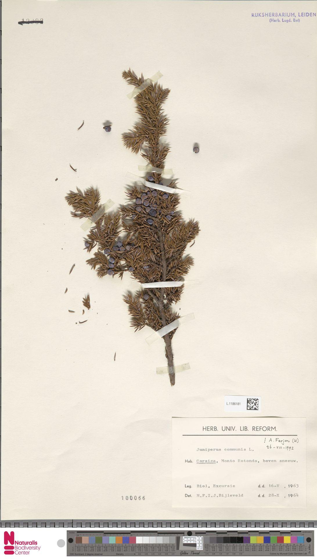 L.1186181   Juniperus communis L.